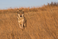 Female wolf running through tall prairie grass Royalty Free Stock Photography