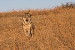 Female wolf running through tall prairie grass