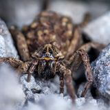 Female Wolf Spider With Babies stock image