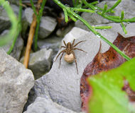 A female wolf spider Royalty Free Stock Photo