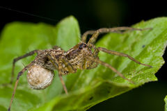 Female wolf spider with egg sac Stock Images