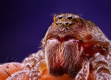 Female wolf spider portrait Royalty Free Stock Photos