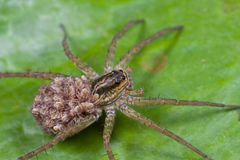 Female wolf spider with spiderlings Stock Photography