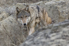Female wolf stalking through the rocks Royalty Free Stock Photo