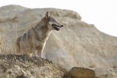 Female wolf standing near cliffs edge