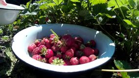Female woman gather pick up ripe red strawberry and put in dish stock video