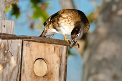 Female Wood Duck Stock Photography