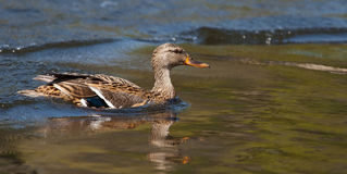 Female Wood Duck (Aix sponsa) landing Stock Images