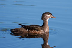 Female Wood Duck (Aix sponsa) Stock Images