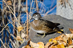 Female Wood Duck in Autumn Royalty Free Stock Images