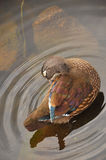 Female wood duck close-up. Female wood duck in Norh America Royalty Free Stock Photography