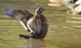 Female Wood Duck, Duck Swimming. Duck on Water, Female Wood Duck  Wingspread, Female Wood Duck Royalty Free Stock Photo
