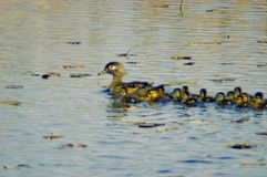 Female wood duck & family. Female are lite brown-gray,she has a white patch around her eyes,in this picture she has her baby's out for a swim and some schooling royalty free stock images