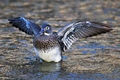 Female Wood Duck Stock Photo