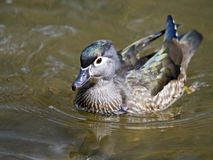 Female Wood Duck Royalty Free Stock Images