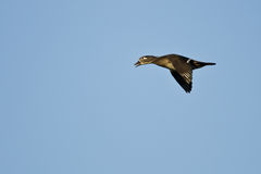 Female Wood Duck Flying in a Blue Sky Stock Images
