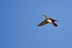 Female Wood Duck Flying in a Blue Sky. Female Wood Duck Flying in a Clear Blue Sky Stock Images