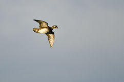 Female Wood Duck Flying in a Blue Sky Royalty Free Stock Photo