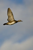 Female Wood Duck Flying in a Cloudy Sky Stock Photography