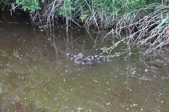 A female wood duck and her ducklings. Swimming in a pond next to the bank royalty free stock photography