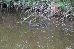 A female wood duck and her ducklings. Swimming in a pond next to the bank royalty free stock images