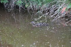 A female wood duck and her ducklings. Swimming in a pond next to the bank royalty free stock photo
