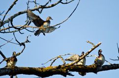 Female Wood Duck Joining the Party on the Tree Limb Stock Photos