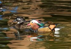 A female wood duck and a male Mandarin duck. Female wood duck and male Mandarin duck gliding across the water together Stock Images