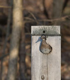 Female wood duck in nest box Royalty Free Stock Images