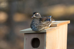 Female wood duck in nest box Royalty Free Stock Photos