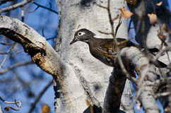 Female Wood Duck Perched in a Tree. In Autumn Stock Image
