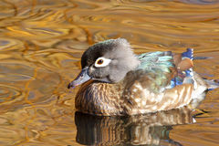 Female Wood duck Swimming, Canada. Female Wood duck Swimming in Golden Pond, British Columbia, Canada Stock Images