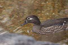 Female Wood duck Royalty Free Stock Photography