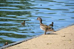 A female wood duck watching over her ducklings Stock Photos