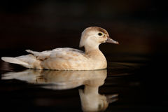 Female Wood Duck on Water. A female wood duck aka Carolina duck  is seen from the side floating on dark water, with a clear reflection below Stock Photos