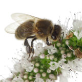 Female worker bee, Anthophora plumipes Stock Image