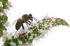 Female worker bee, Anthophora plumipes Royalty Free Stock Images