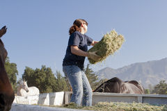 Female Worker Feeds Horses Royalty Free Stock Photography