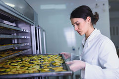 Female worker on food dryer dehydrator machine. Putting sliced apples royalty free stock image