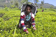 Female Worker Harvesting Leaves in Tea Plantation Royalty Free Stock Images