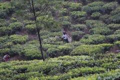 Female Worker harvesting tea leaves Stock Images