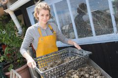 Female worker holding basket wild oysters for sale. Female worker holding a basket of wild oysters for sale Royalty Free Stock Photo