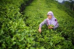Female worker picking tea leaves on Tea Plantation royalty free stock photography