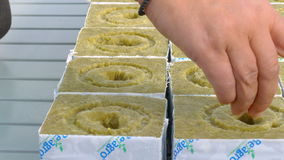Female worker seeding tomato hybrid seeds stock video