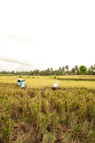 Female workers harvesting rice Royalty Free Stock Image