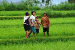 Female workers in a rice field Royalty Free Stock Photography
