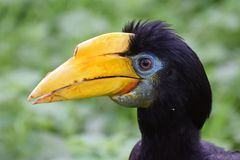Female Wrinkled Hornbill. A portrait of a Female Wrinkled Hornbill Stock Photos
