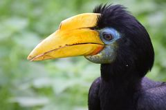Female Wrinkled Hornbill. A portrait of a Female Wrinkled Hornbill Stock Photography