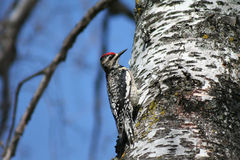 Female Yellow-bellied Sapsucker. A female Yellow-bellied Sapsucker perched on the trunk of a birch tree where she has been drilling holes for sap in Littlefork Stock Images