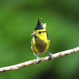 Female Yellow-cheeked Tit Royalty Free Stock Images